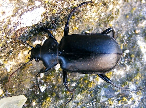 Calosoma (Campalita) maderae