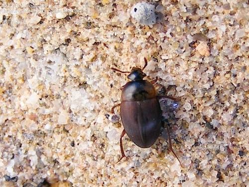 Catópido (Chovelidae sp.?)