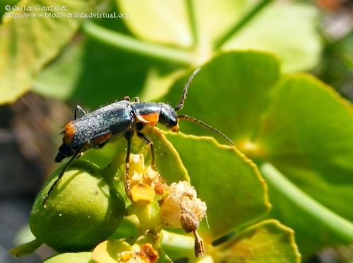 Clanoptilus marginellus