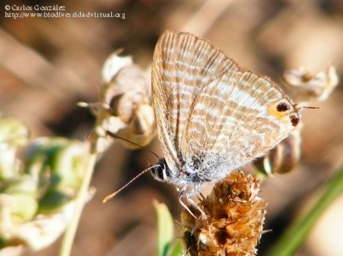 Lampides boeticus.jpg