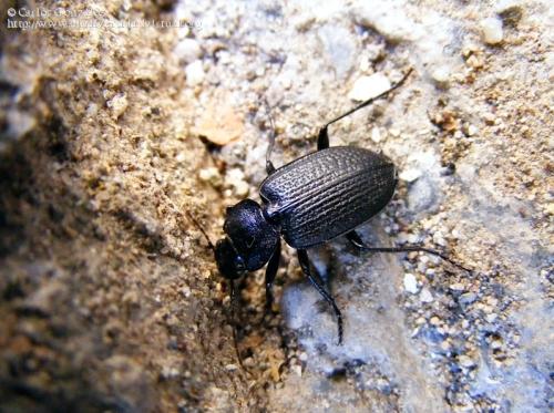Licinus (Licinus) punctatulus granulatus