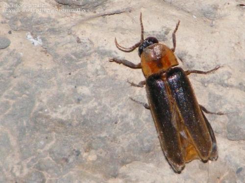 Nyctophila reichii (macho)