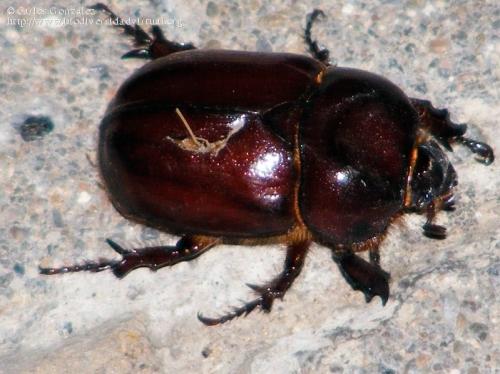 Phyllognathus excavatus (macho)