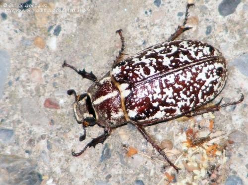 Polyphylla (Polyphylla) fullo (hembra)