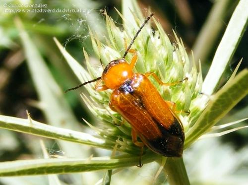 Stenoria (S.) apicalis