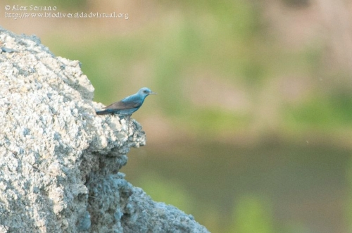Monticola solitarius